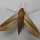 Tersa Sphinx Hawkmoth