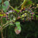 Azalea Caterpillar (Datana major)
