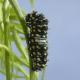 An Immature Black Swallowtail Caterpillar