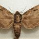 Catalpa Sphinx Hawkmoth