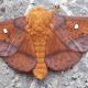 Orange-Striped Oakworm Moth