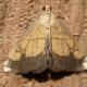 Evergestis Species Moth