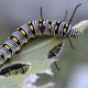 The Queen Caterpillar
