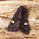 Zebra Caterpillar Moth