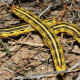 White-Lined Sphinx Striped Form Caterpillar