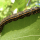 Orange-Striped Oakworm