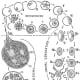 Diagram of the complete life-cycle of the parasite of pernicious malaria, Laverania malariae, Gr. et Fel.