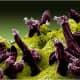 Scanning electron micrograph of Plasmodium gallinaceum invading mosquito midgut.