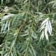 Salix alba leaves