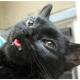 Cat With Myotonia Congenita
