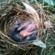 Here's the baby Cardinal, safe & sound in its nest. It will probably fledge in a few days.