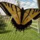 my-wildlife-in-montana-raising-a-swallowtail-butterfly