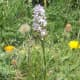 This is a common spotted orchid.