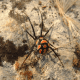 Some black widow spiders have different markings! Some are quite beautiful!