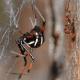 The northern black widow variation.