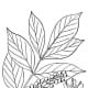 Poison Sumac has a smoother edge to its leaf strcuture