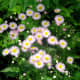 Not every flower that looks like a daisy is one. This is the Philadelphia fleabane.