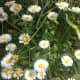 Common daisies in the sun and shade