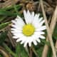 A close-up view of a daisy