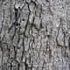 Eastern White Oak Bark