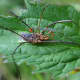 Larval velvet mite on host
