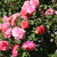 roses-symbols-of-love-and-flowers-of-beauty