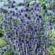 Gardeners in USDA growing zones 3–8 appreciate this gorgeous veitch's blue globe thistle. Pollinators love it and deer will leave it alone.