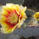 Red and yellow flower on a prickly pear cactus.