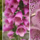The common foxglove is one of the most beautiful flowers in the world but you must take care when handling it, as all parts of it can cause allergic reactions. The berries are particularly poisonous.