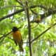 Male Northern Oriole singing way up high in a tree.