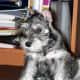A Miniature Schnazuer puppy pausing..for a sec.