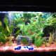 My 30-gallon community aquarium with 4 Tiger Barbs, 1 Gold Barb, 5 Serpae Tetras, and 3 Scissor Tails