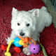 Some Westies try to use props to look really cute.