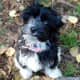 Havanese puppies typically grow up 11 inches in height with an average weight between 7–13 pounds.
