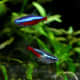 Neon and cardinal tetras are beautiful schooling fish that won't bother ADF's.