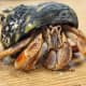 Its claw is the same color as its legs, and it has some variation of color . . .