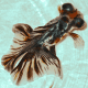 Butterfil Goldfish