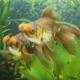 Pop-pom Goldfish