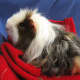 This texel guinea pig has a long and curly coat.