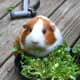 This brown and white smooth-haired guinea pig is ready for a garden feast, handpicked by its owner!