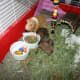 Indoor guinea pigs cages like this one are available from pet stores and are easy to clean.