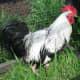 Handsome Silver Grey Dorking Cockerel