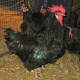 Black Penedesenca Rooster Regrowing Tail Feathers after Defending his Hens