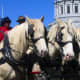 Rare horse breed American Cream Draft horse in harness at parade
