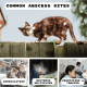 Common sites of cat abscesses and the sequence of events that leads to inoculation, bacteria proliferation, and treatment.