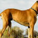 Scooby Doo is a great Dane, and here is one with similar coloring. The dogs grow to an impressive size—sometimes over 150 pounds.