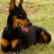 The doberman can be a loyal member of the family.