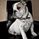 A bulldog in a shaving parlor.