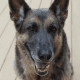German shepherds are confident and self-assured.