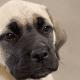 A bullmastiff puppy.